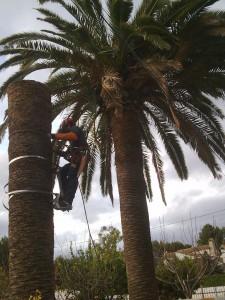 corte palmera 1